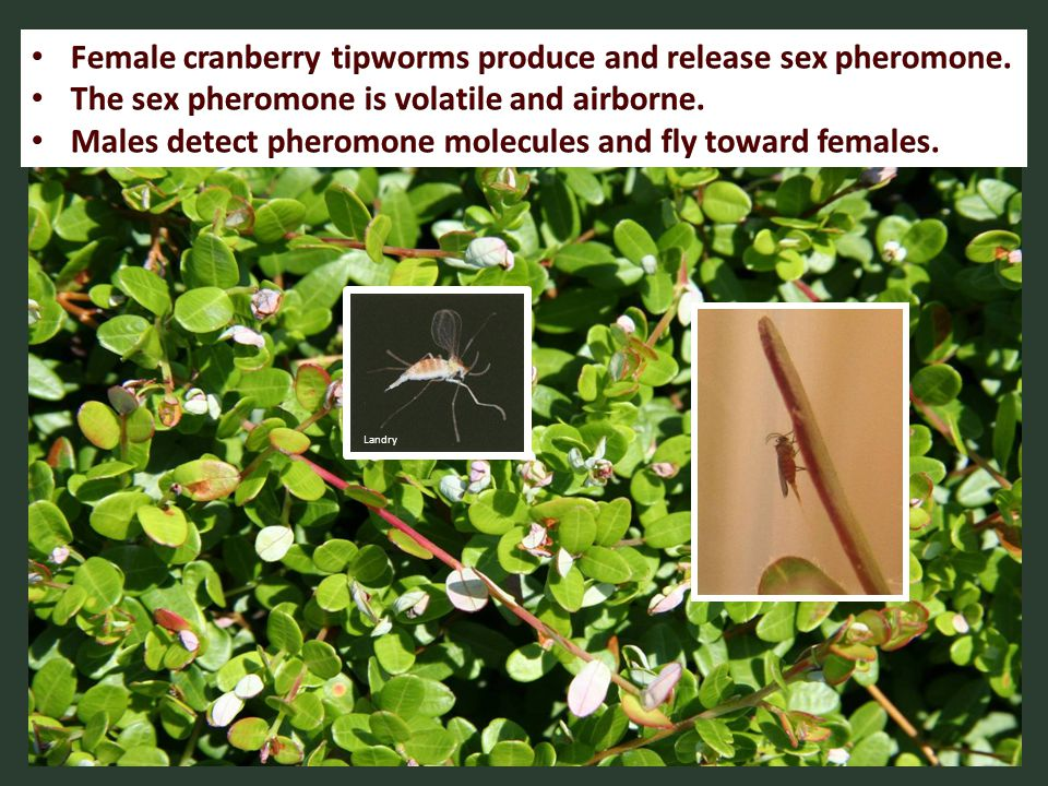 Female cranberry tipworms produce and release sex pheromone.