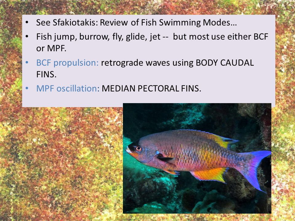 See Sfakiotakis: Review of Fish Swimming Modes…
