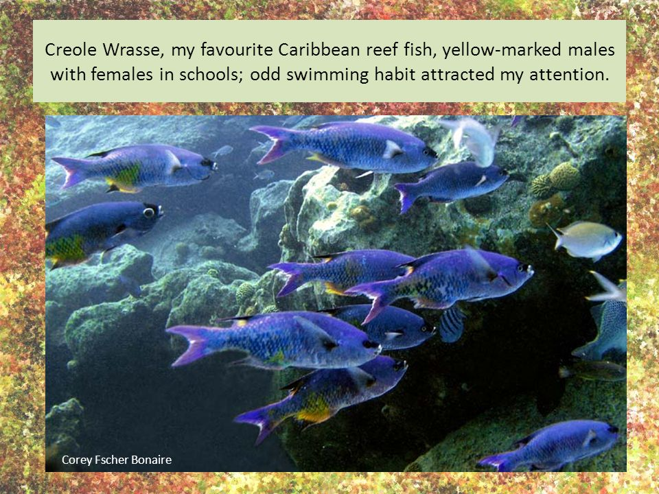 Creole Wrasse, my favourite Caribbean reef fish, yellow-marked males with females in schools; odd swimming habit attracted my attention.