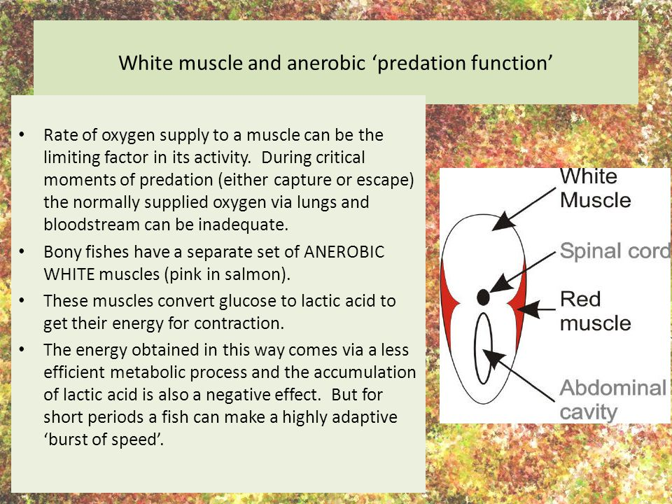 White muscle and anerobic 'predation function'
