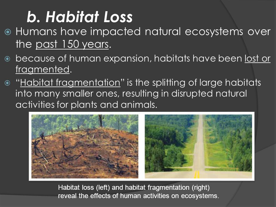 b. Habitat Loss Humans have impacted natural ecosystems over the past 150 years. because of human expansion, habitats have been lost or fragmented.