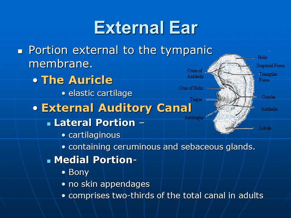 External Ear Portion external to the tympanic membrane. The Auricle