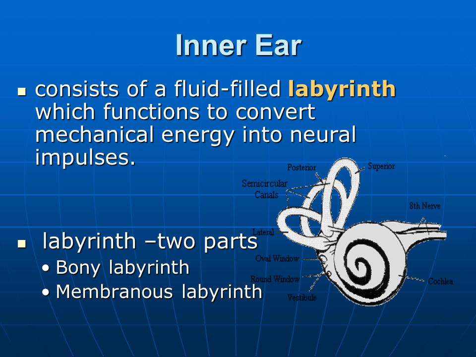 Inner Ear consists of a fluid-filled labyrinth which functions to convert mechanical energy into neural impulses.
