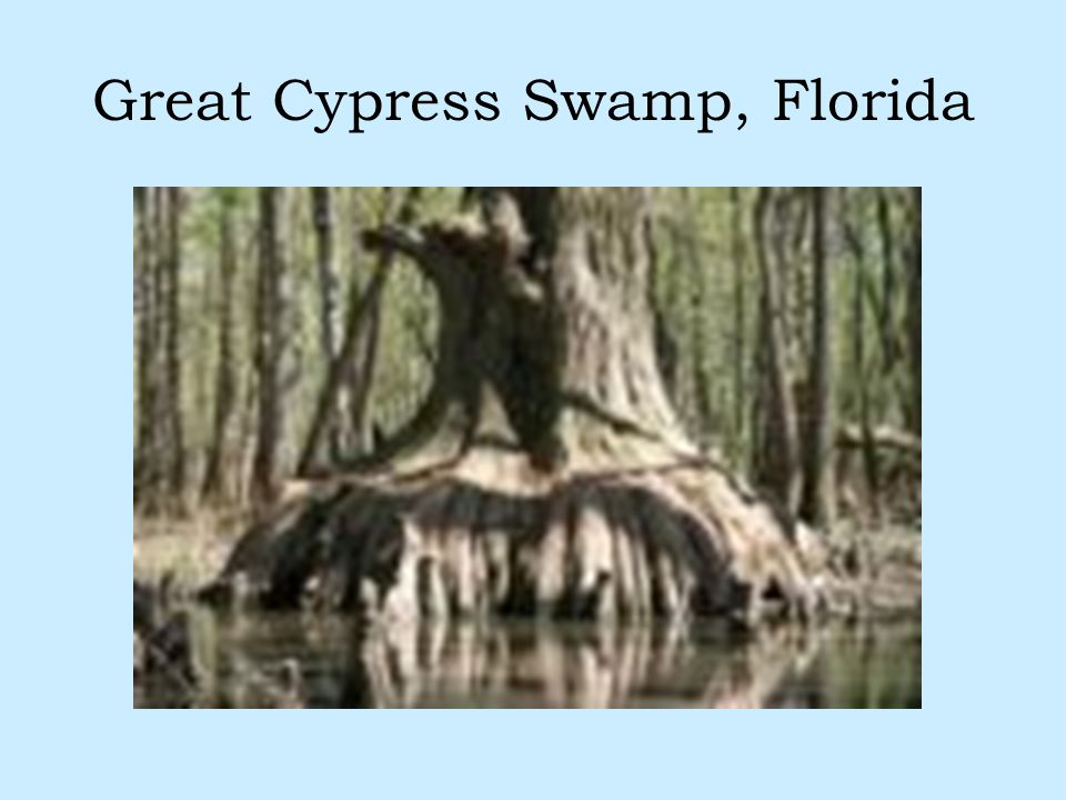 Great Cypress Swamp, Florida