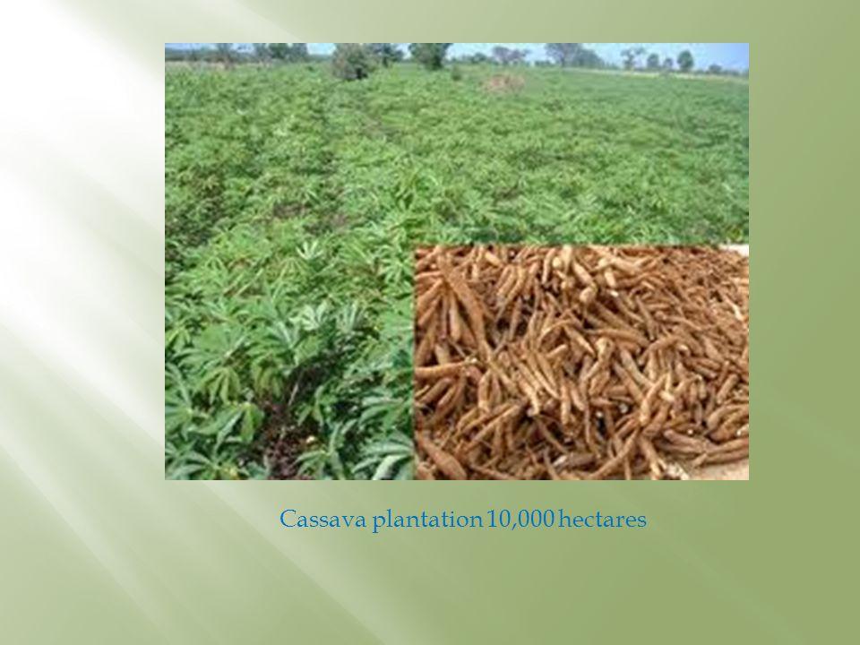 Cassava plantation 10,000 hectares
