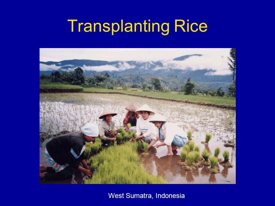 Transplanting Rice West Sumatra, Indonesia