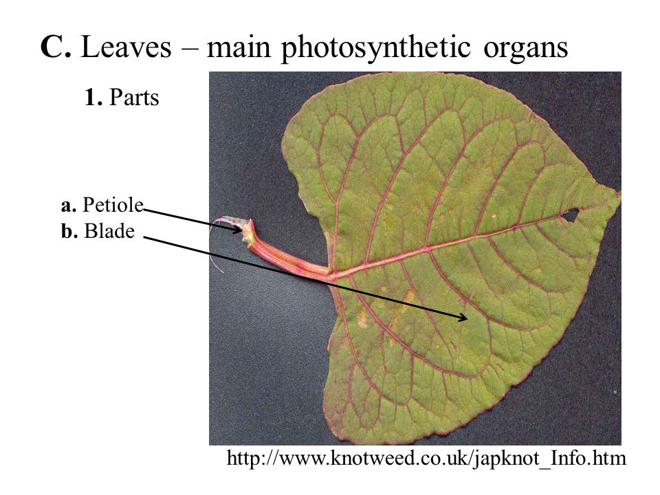 C. Leaves – main photosynthetic organs