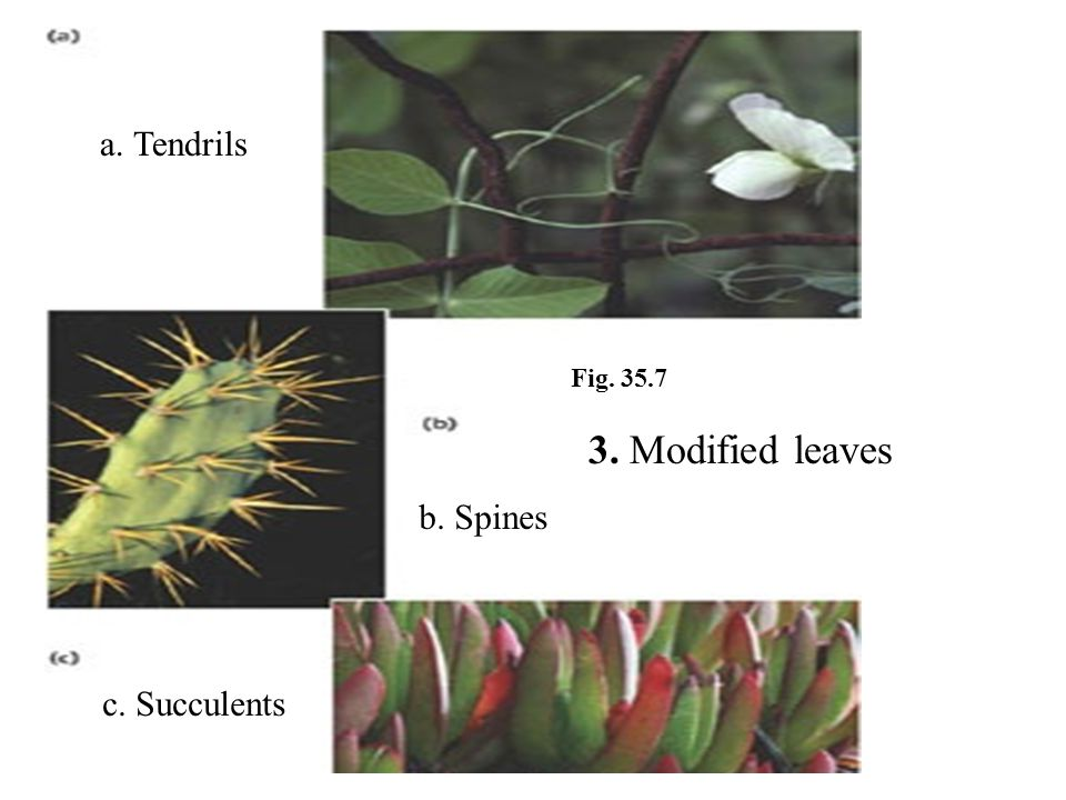 a. Tendrils Fig. 35.7 3. Modified leaves b. Spines c. Succulents