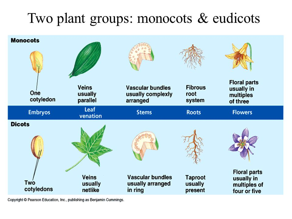 Two plant groups: monocots & eudicots