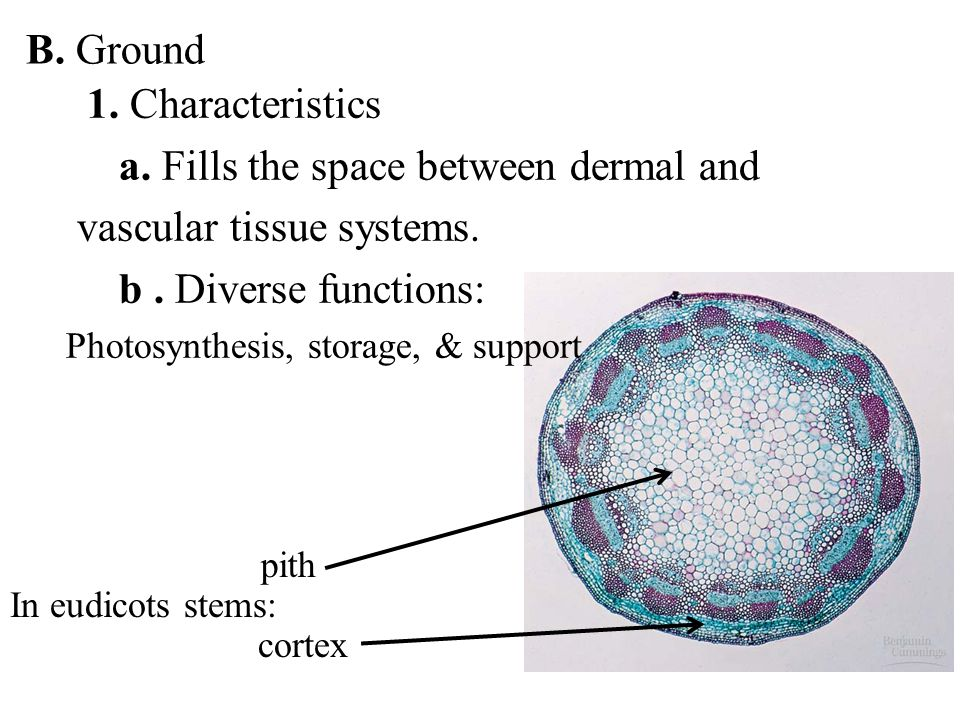 a. Fills the space between dermal and vascular tissue systems.