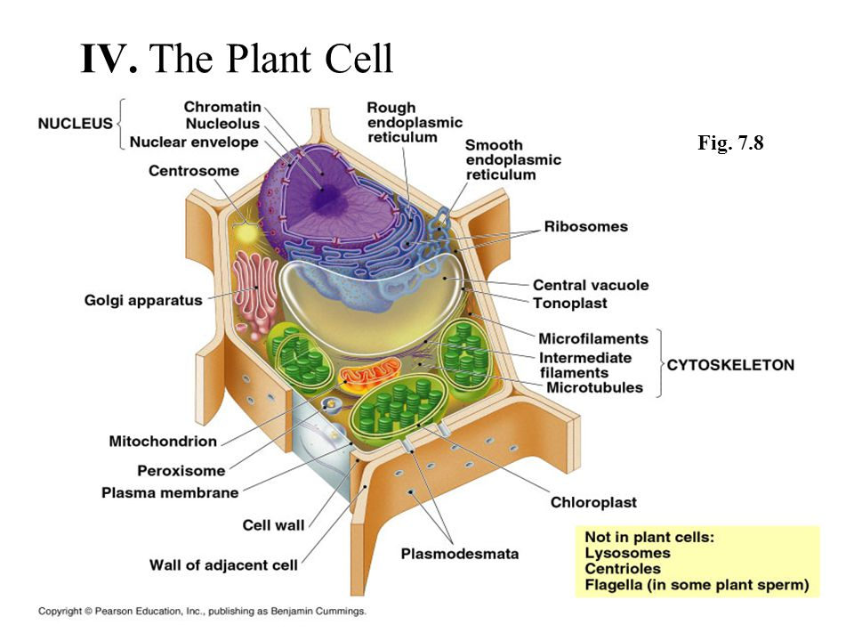 IV. The Plant Cell Fig. 7.8