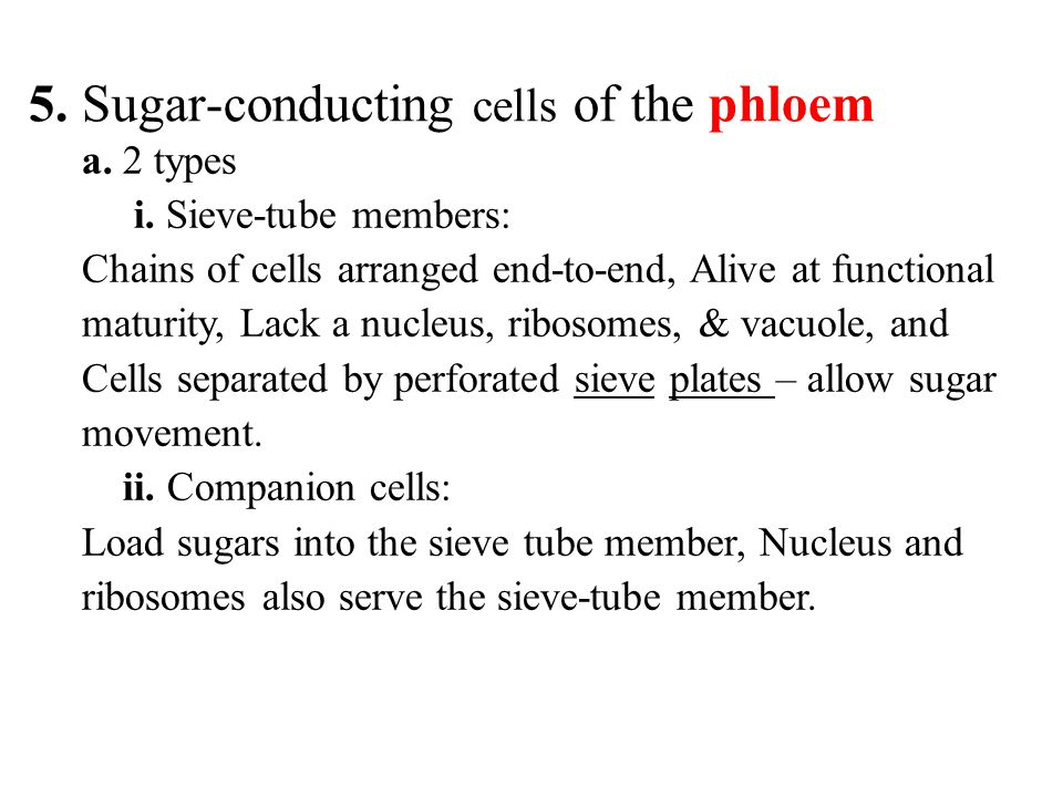 5. Sugar-conducting cells of the phloem