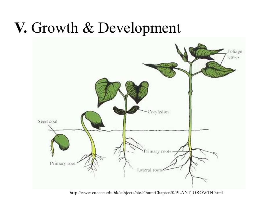 V. Growth & Development http://www.cneccc.edu.hk/subjects/bio/album/Chapter20/PLANT_GROWTH.html