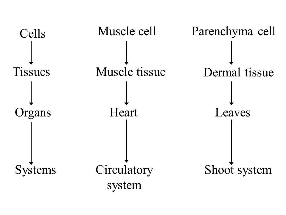 Muscle cell Muscle tissue. Heart. Circulatory system. Parenchyma cell. Dermal tissue. Leaves. Shoot system.