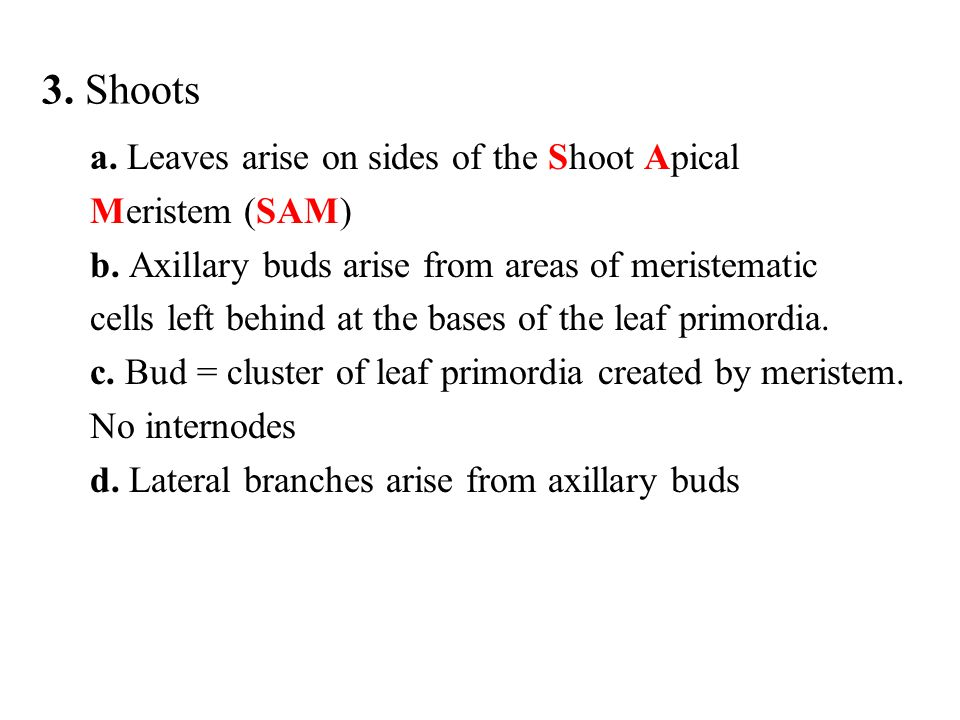 3. Shoots a. Leaves arise on sides of the Shoot Apical Meristem (SAM)