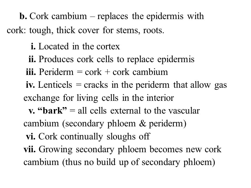 b. Cork cambium – replaces the epidermis with