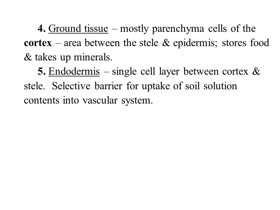 4. Ground tissue – mostly parenchyma cells of the