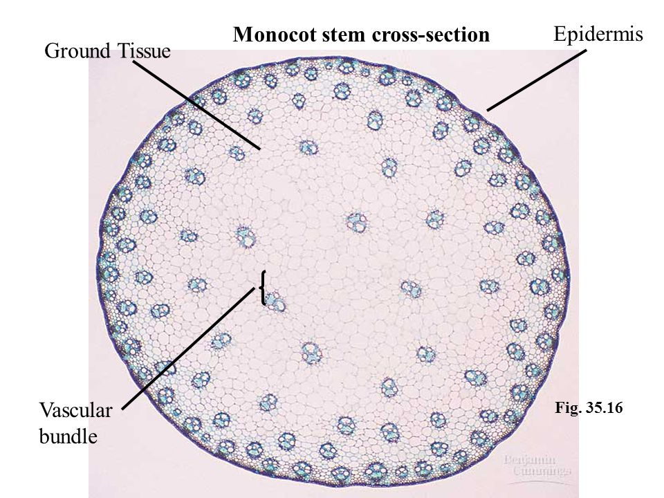 Monocot stem cross-section