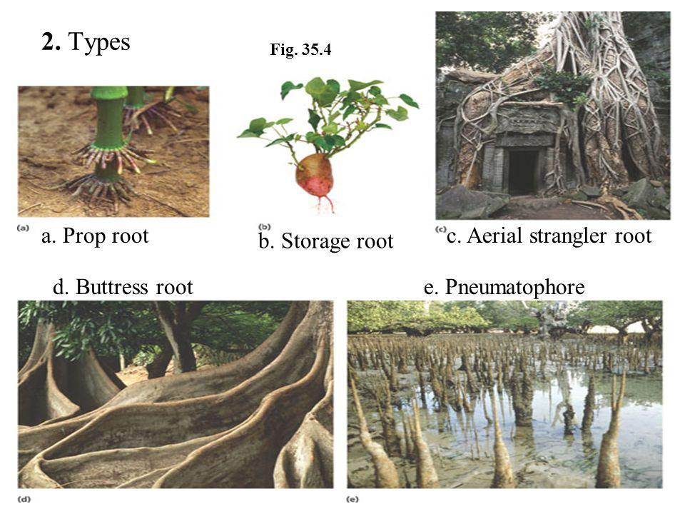 2. Types a. Prop root c. Aerial strangler root b. Storage root