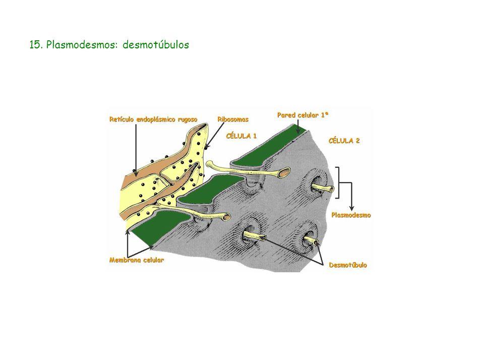 15. Plasmodesmos: desmotúbulos