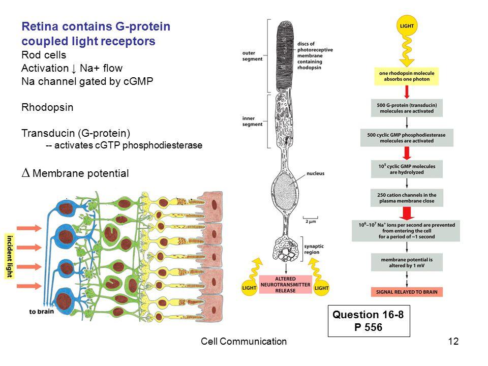 Δ Membrane potential Retina contains G-protein coupled light receptors