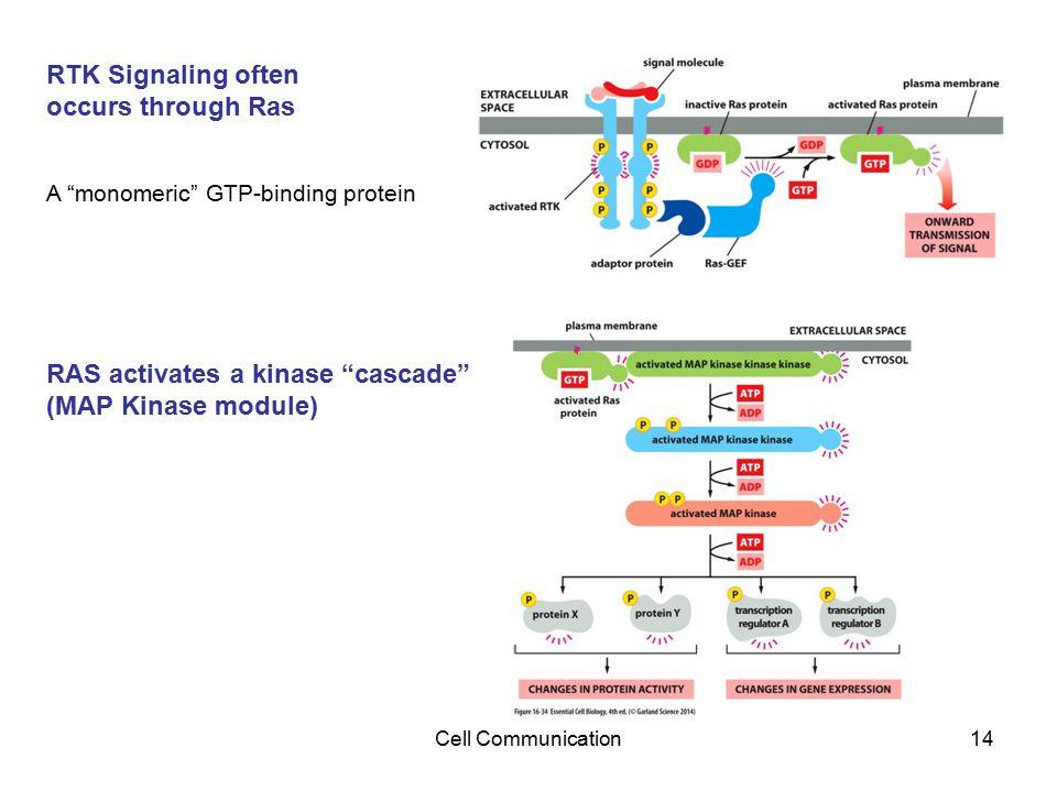 RAS activates a kinase cascade (MAP Kinase module)