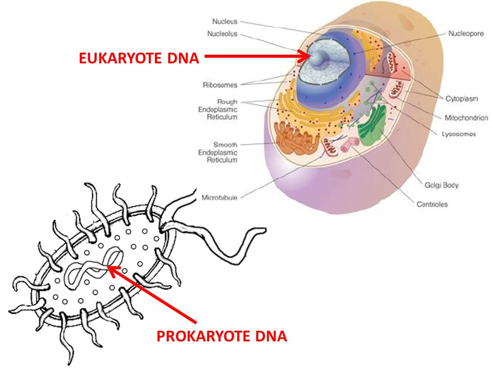 EUKARYOTE DNA PROKARYOTE DNA