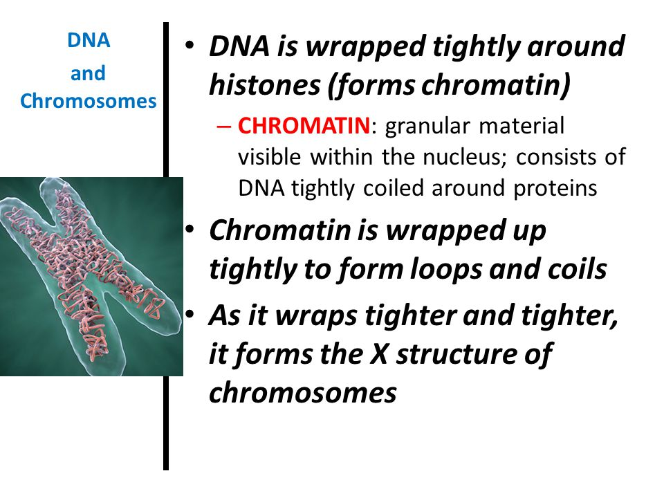 DNA is wrapped tightly around histones (forms chromatin)