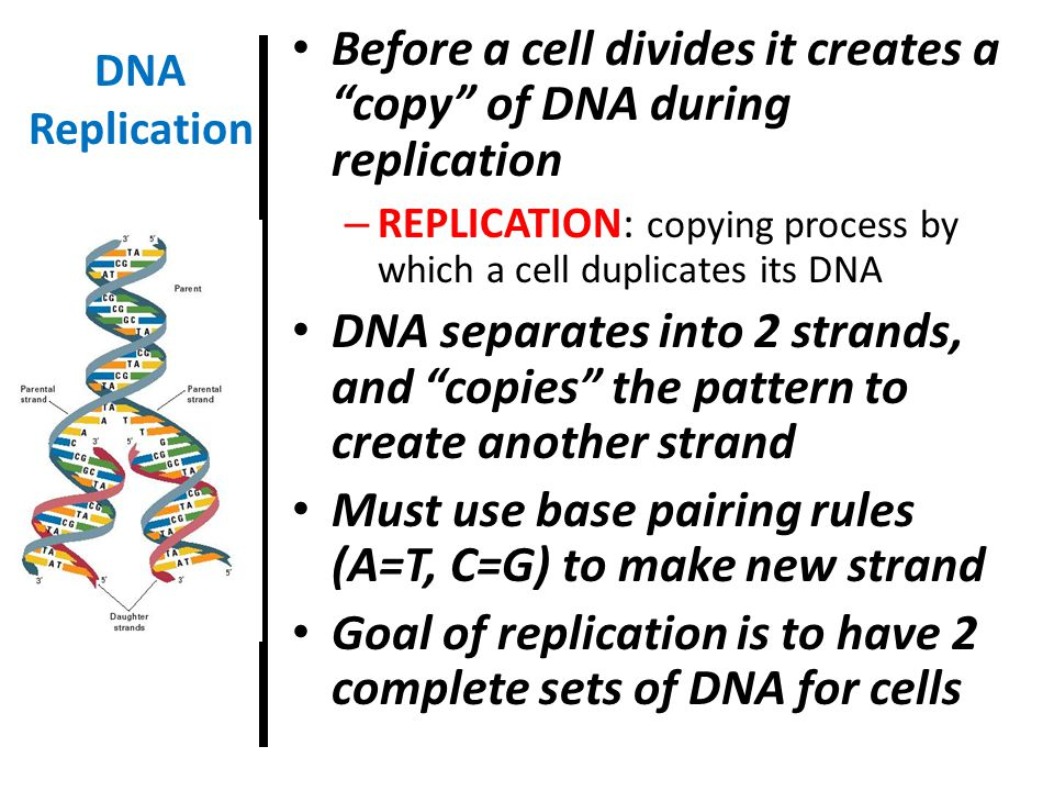 Before a cell divides it creates a copy of DNA during replication