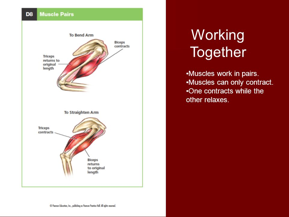 Working Together Muscles work in pairs. Muscles can only contract.