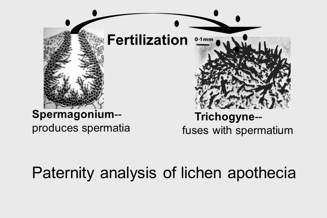 Paternity analysis of lichen apothecia