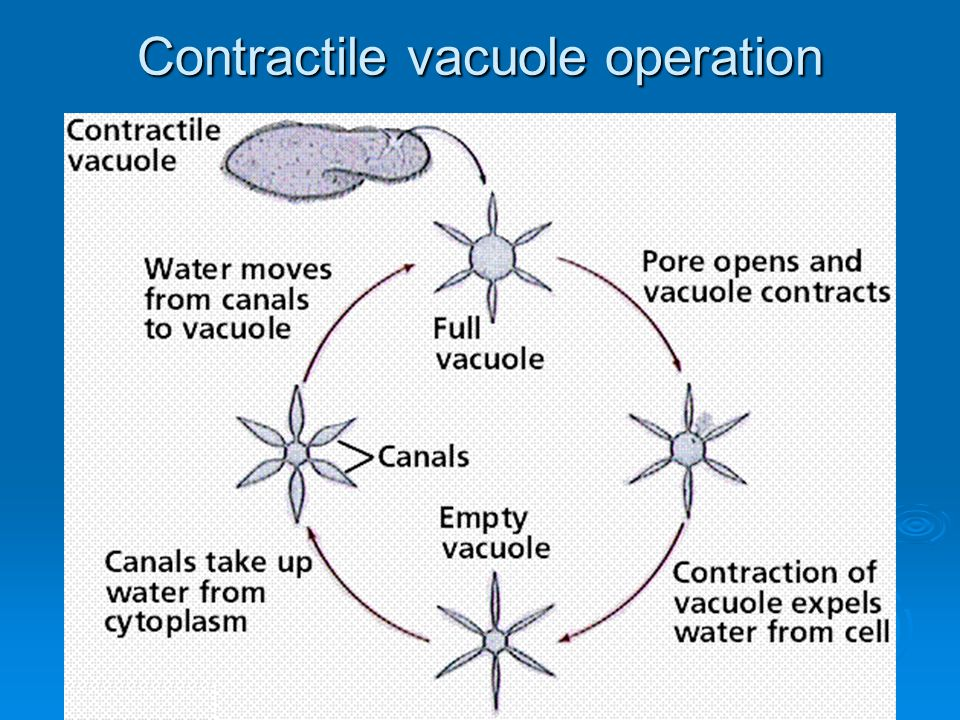 Contractile vacuole operation