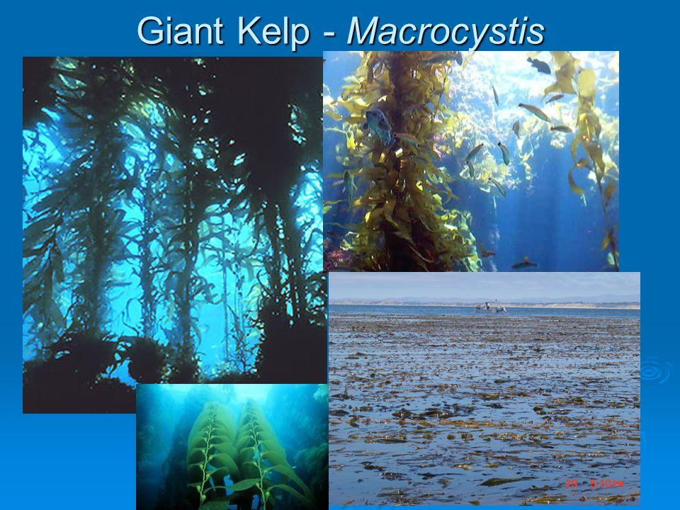 Giant Kelp - Macrocystis