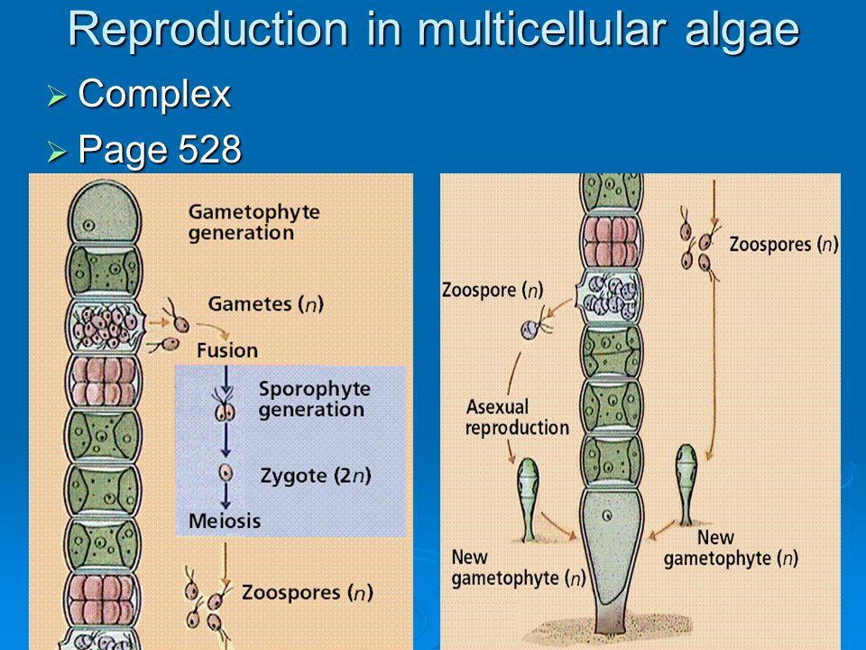 Reproduction in multicellular algae