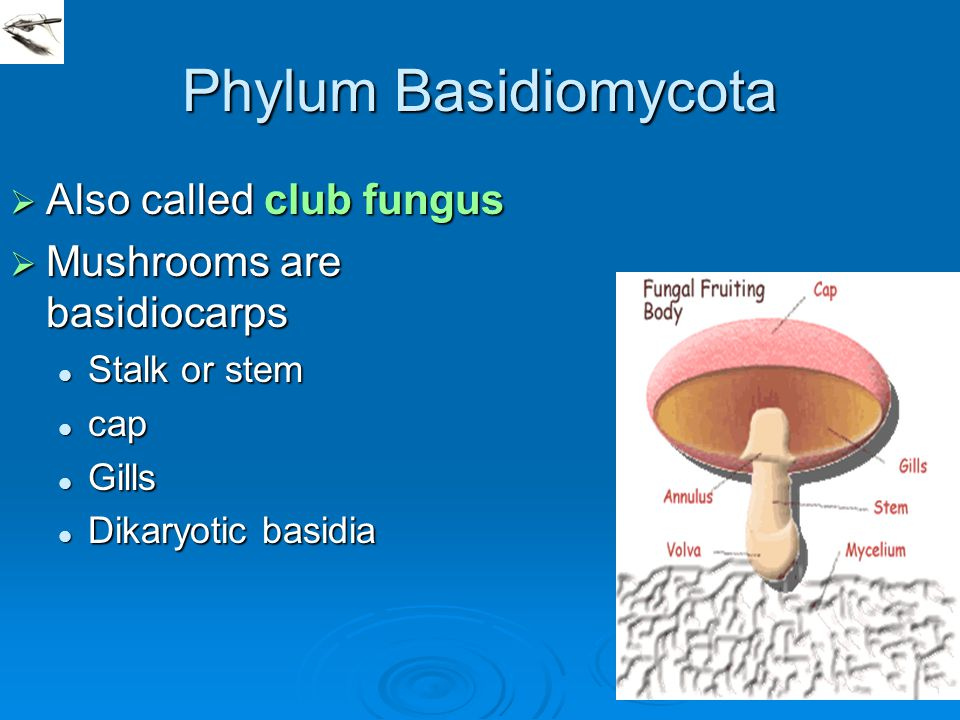 Phylum Basidiomycota Also called club fungus