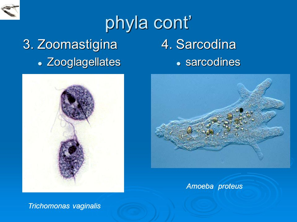 phyla cont' 3. Zoomastigina 4. Sarcodina Zooglagellates sarcodines