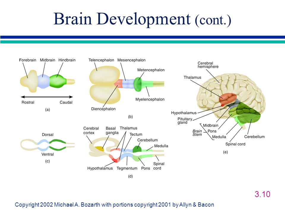 Brain Development (cont.)