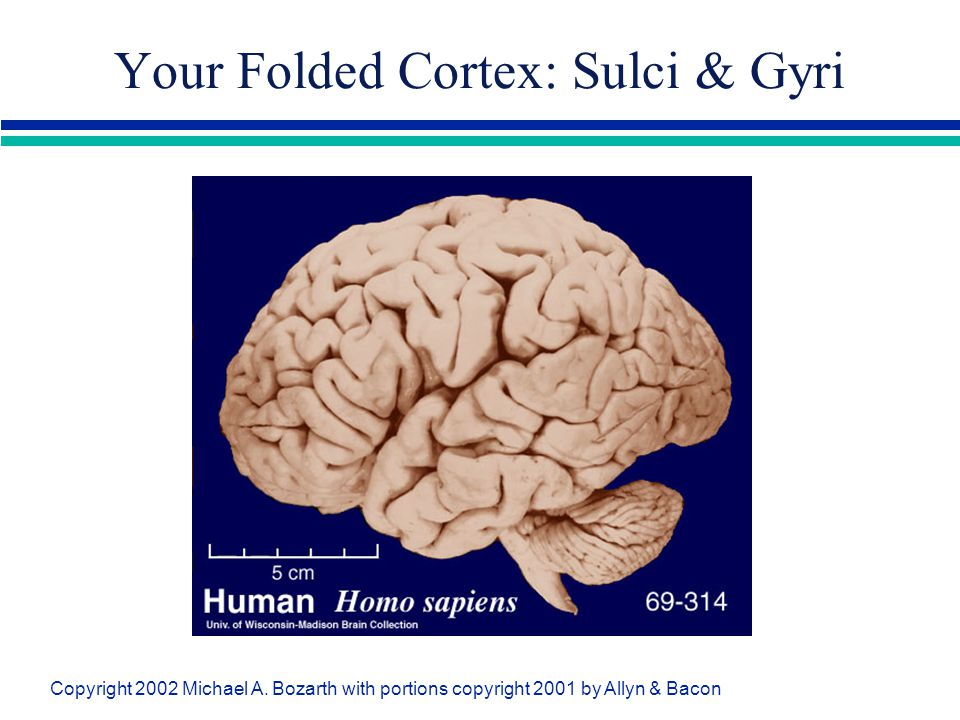 Your Folded Cortex: Sulci & Gyri