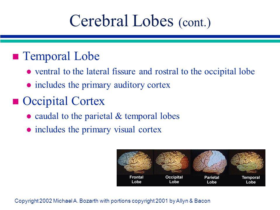 Cerebral Lobes (cont.) Temporal Lobe Occipital Cortex