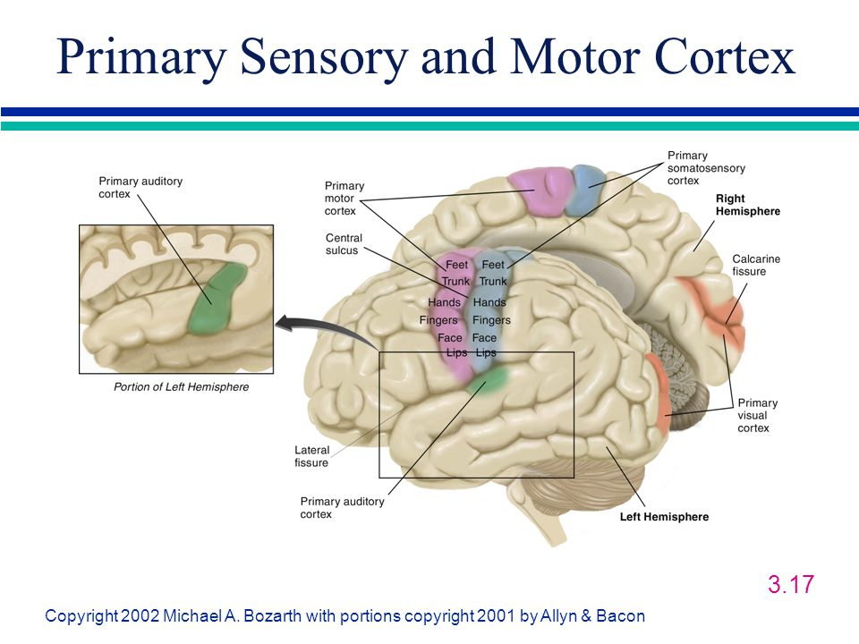 Primary Sensory and Motor Cortex