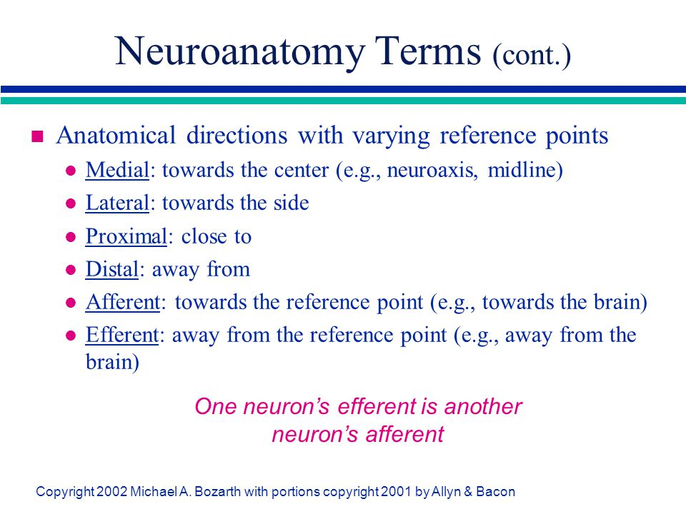 Neuroanatomy Terms (cont.)