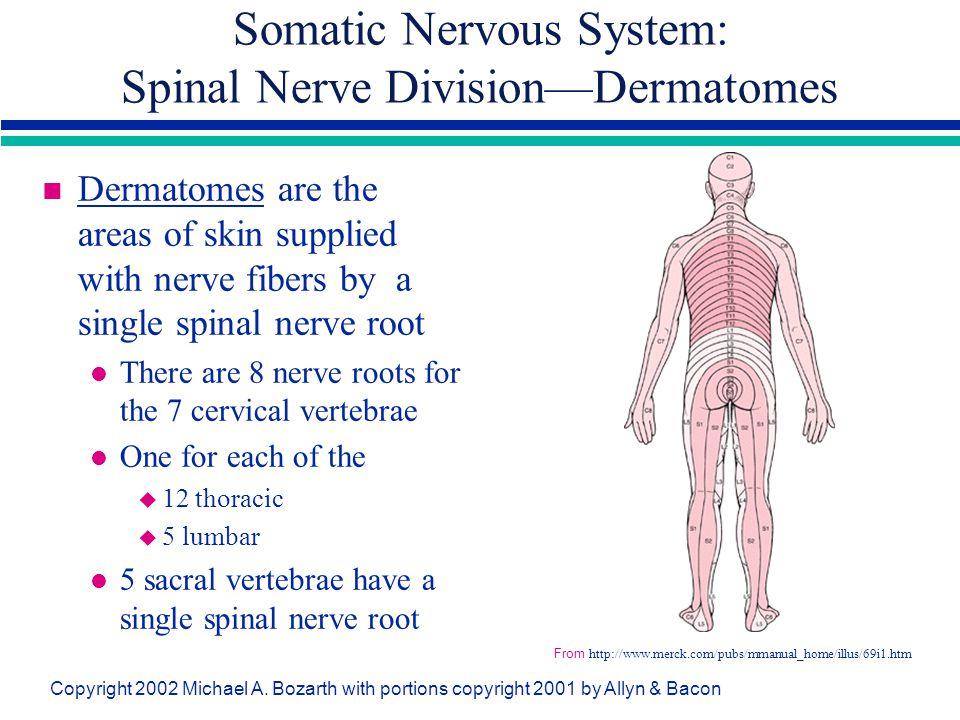Somatic Nervous System: Spinal Nerve Division—Dermatomes