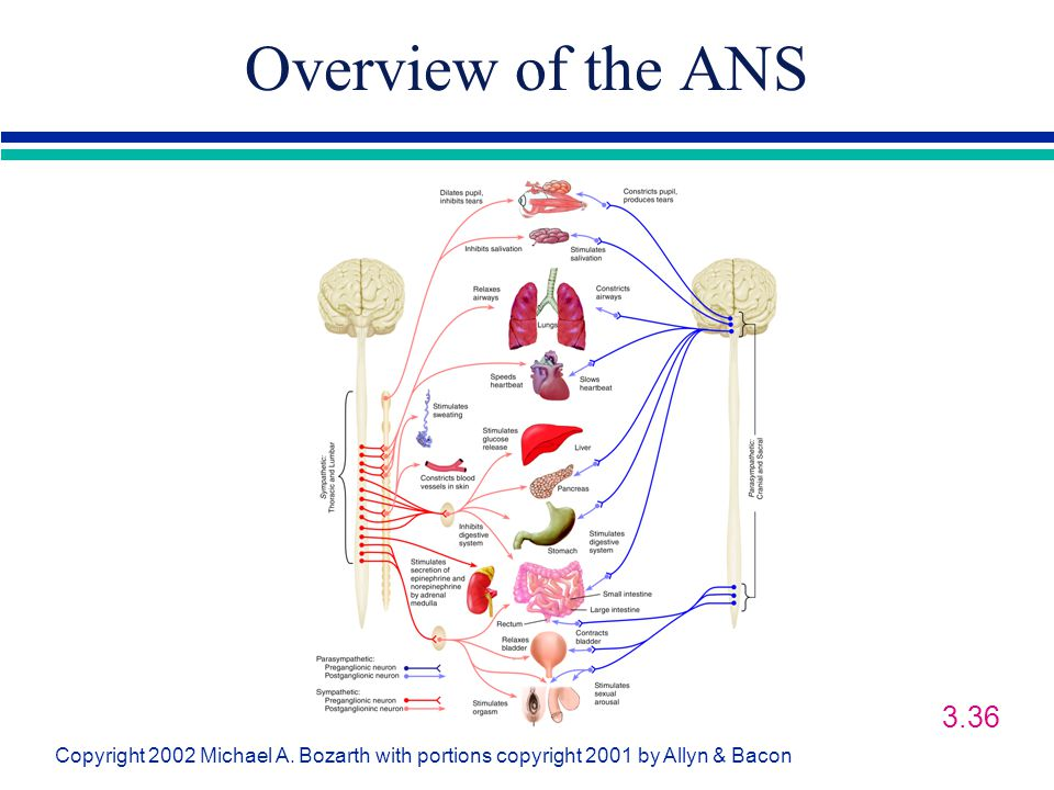Overview of the ANS 3.36 Dualism-mind is separate from the body