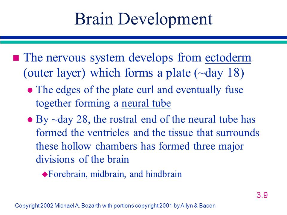Brain Development The nervous system develops from ectoderm (outer layer) which forms a plate (~day 18)