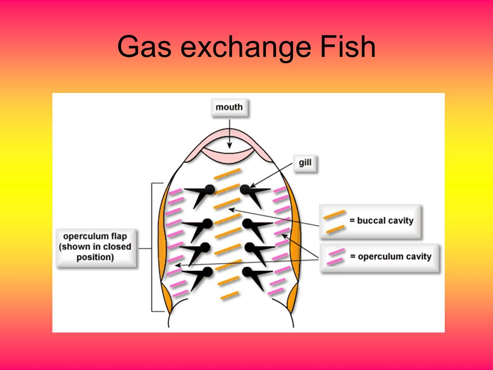 Gas exchange Fish