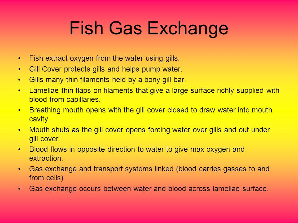 Fish Gas Exchange Fish extract oxygen from the water using gills.