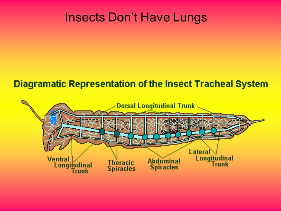 Insects Don't Have Lungs