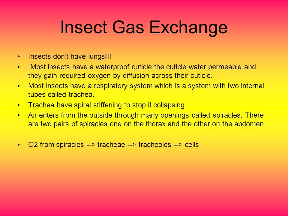Insect Gas Exchange Insects don't have lungs!!!
