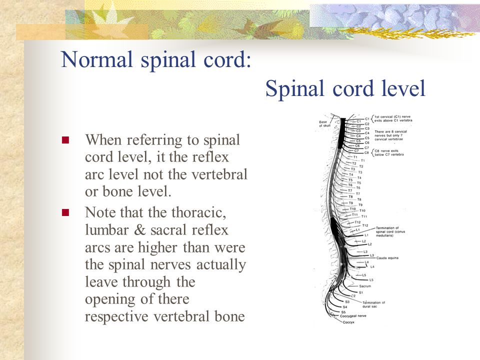 Normal spinal cord: Spinal cord level