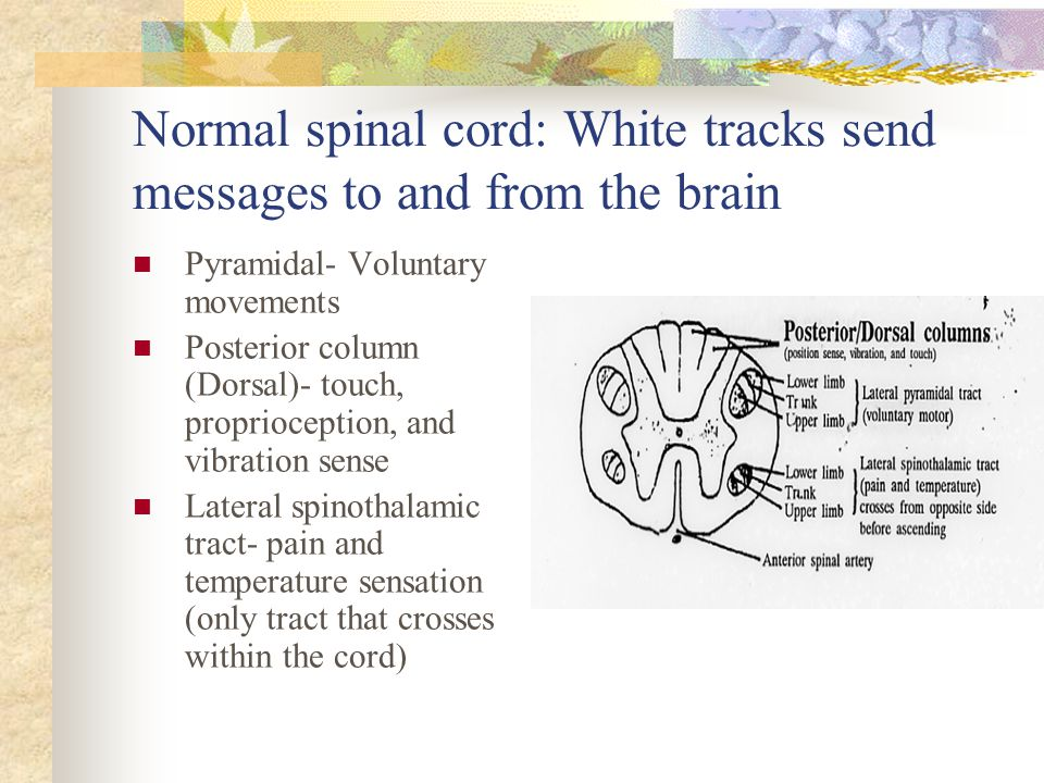 Normal spinal cord: White tracks send messages to and from the brain